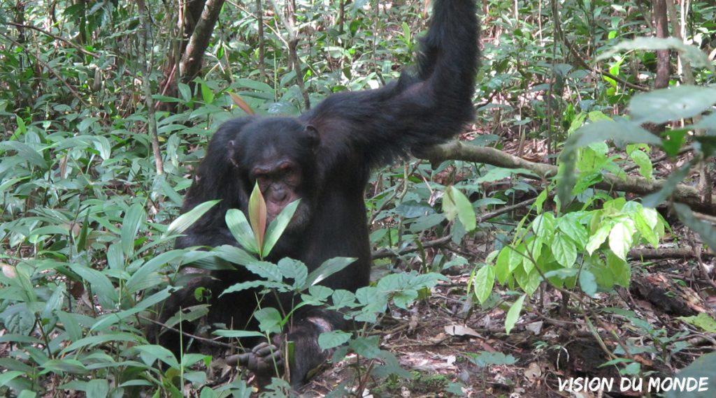 Ouganda Chimpanzé Parc National Kibalé