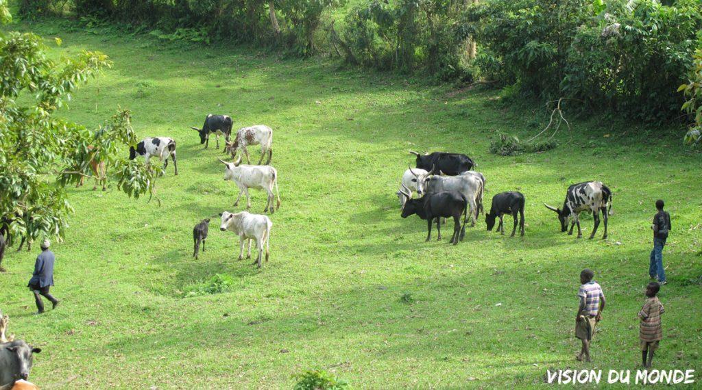 Ouganda Vaches