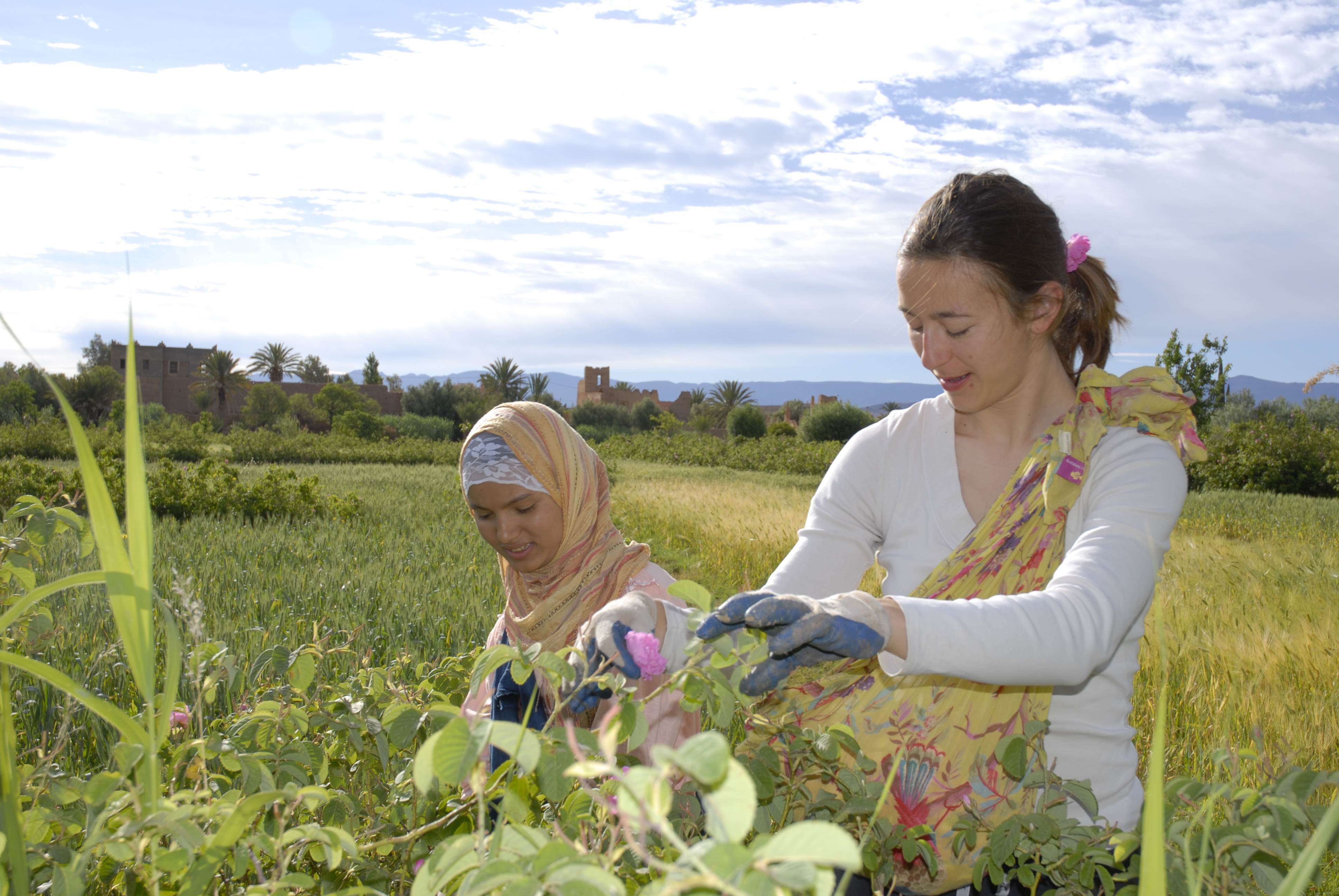 Cueillette dans la vallée des roses au Maroc
